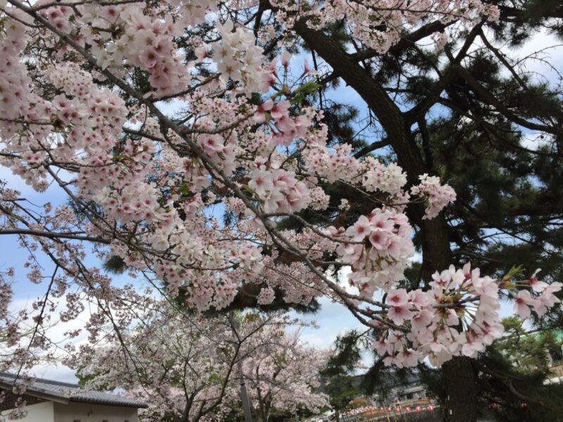 桜の名所倉敷『酒津公園』でお花見!バーベキューもトイレも屋台もある!
